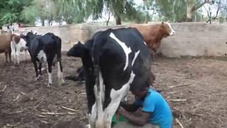 traite de 2 vaches laitieres kayes mali