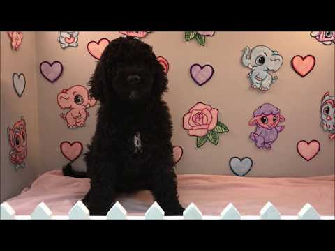 MALE 2ND GENERATION LABRADOODLE PUPPY