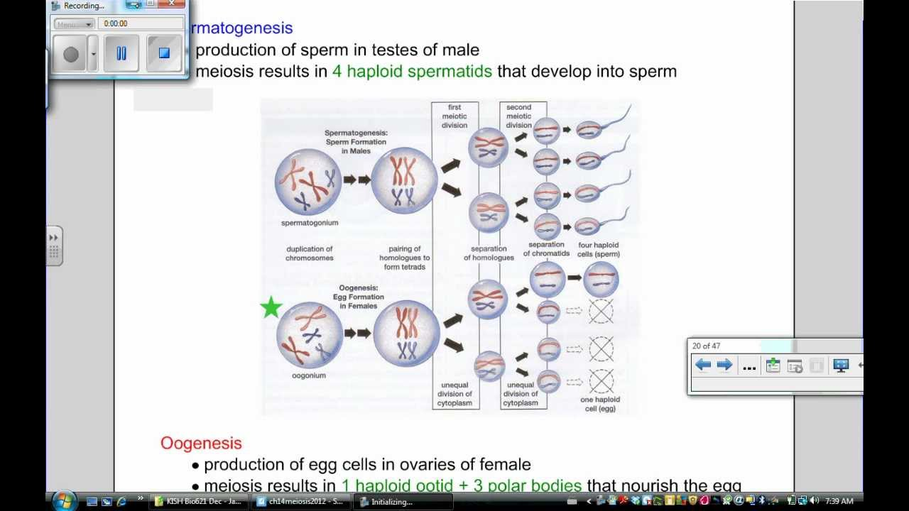 Meiosis Part 5  Spermatogenesis Vs Oogenesis