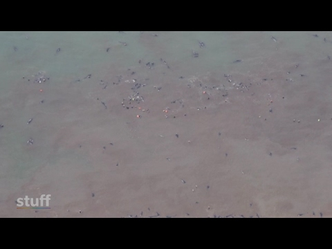 Aerial footage of mass whale stranding