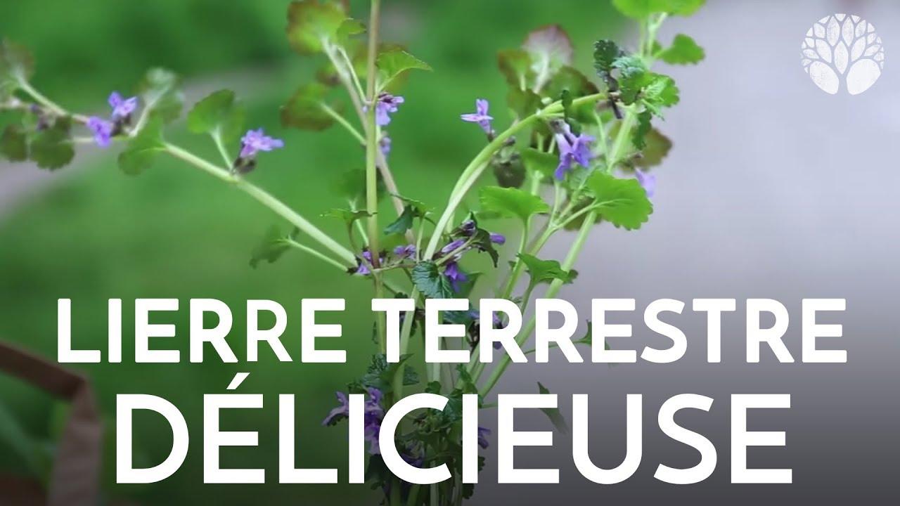 Lierre terrestre délicieuse plante sauvage comestible et médicinale