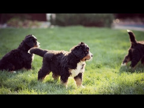 BERNESE MOUNTAIN DOG PUPPIES - Morgan Oliver-Allen