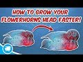 How To Grow Flowerhorn Head Faster Flowerhorn Head Growth Secrets