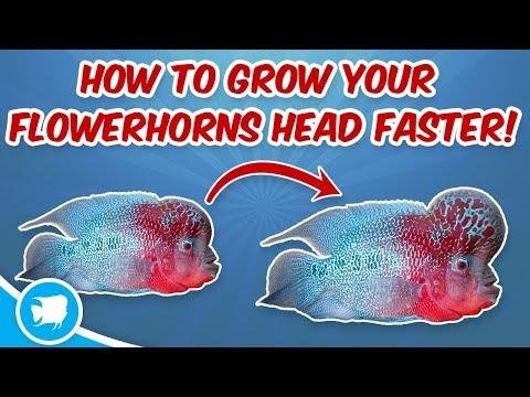 How To Grow Flowerhorn Head Faster Flowerhorn Head Growth Secrets