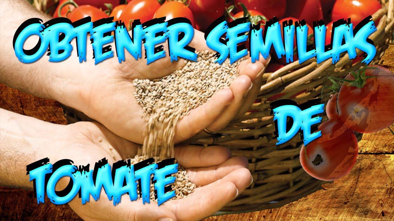 como sacar la semilla del tomate