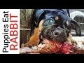 How I Feed RABBIT to Puppies!!!