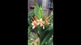 Hedychium Yuubae