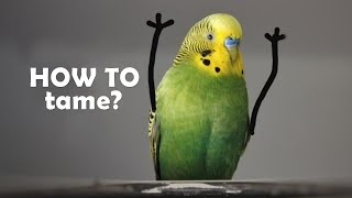 how to  a budgie? |     | step by step