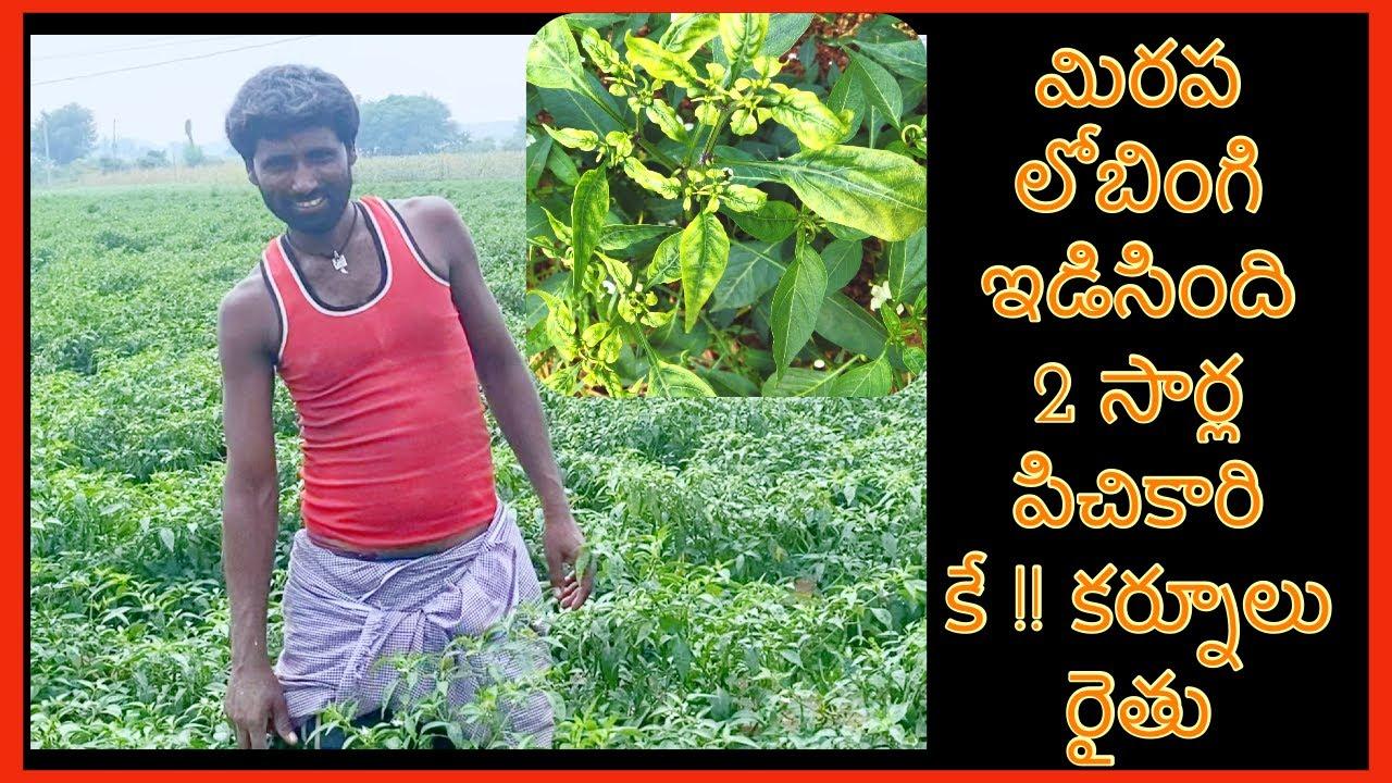మిరప లోబింగి ఇడిసింది 2 సార్ల పిచికారి కే !! కర్నూలు రైతు mirchi Farmer success story East west seed