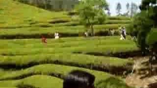 Green tea plantations, Boseong, Korea