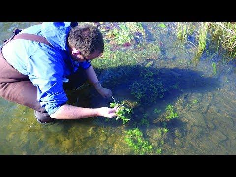 Native and Invasive Aquatic Plant Species in Virginia Trout Streams