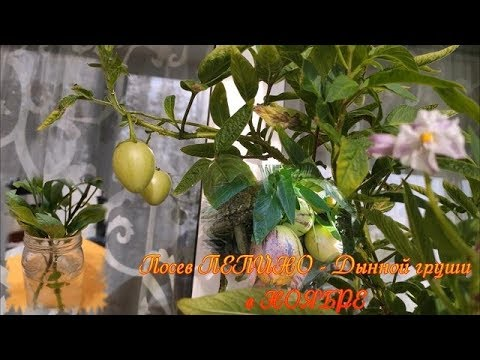 ПЕПИНО пора сеять в Ноябре мой метод и мои ошибки при выращивании
