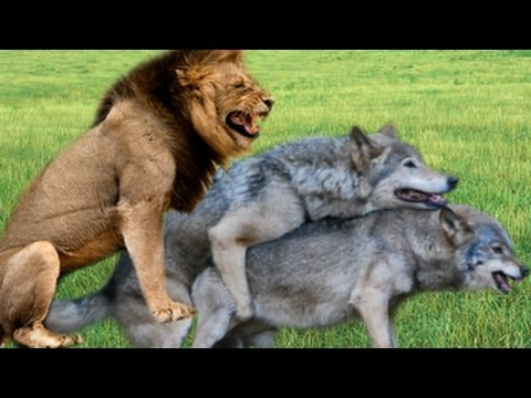 Tiger Wolf Lion Mating : Different Animals