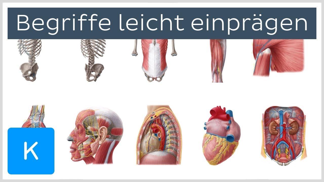 Wie man sich antomische Begriffe leicht einprägt - Anatomie des ...