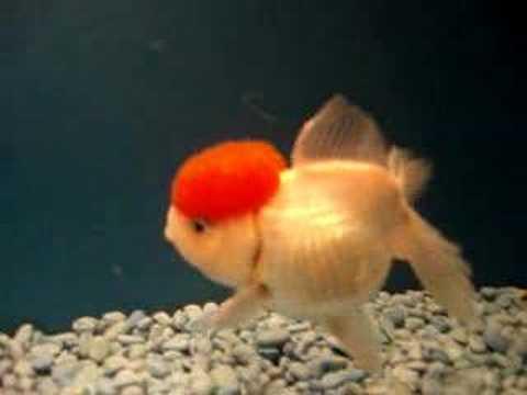 Classic Chinese Red Cap Oranda Goldfish! Extra Large!
