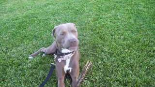 Looking For A Home! Chanel, Weimaraner/am Staff Terrier - At The Park