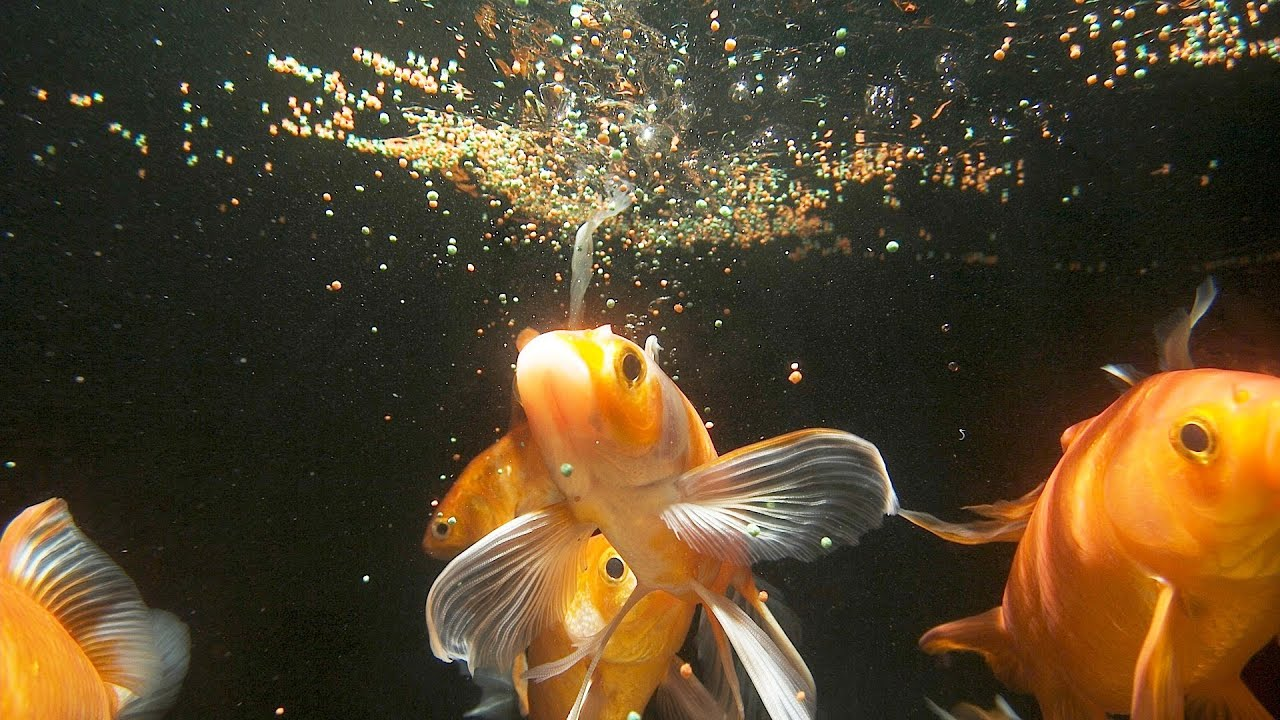 How much often should you feed fish aquarium care for Can you eat koi fish