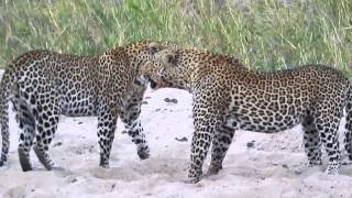 Wild South African Leopards Fight