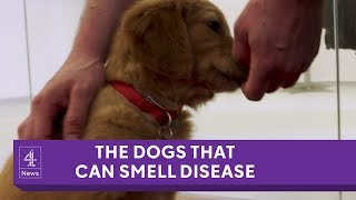 The dogs being trained to smell cancer and disease