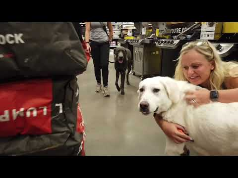 3 Year Old Great Pyrenees Lab Mix   Best Dog Training   Off Leash K9   Board and Train   Oklahoma