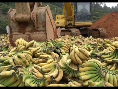 China Destroys 35 Tons of Imported Bananas for Pesticide Residues