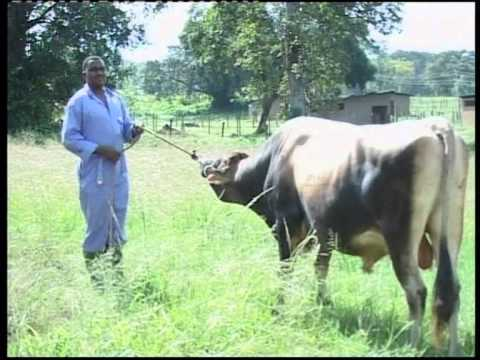 hqdefault - Namna uhamilishaji (Artificial Insemination) inavyofanyika NAIC Arusha