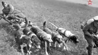Легенды армии. Собаки на службе в армии.