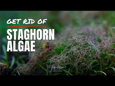 How To GET RID OF STAGHORN ALGAE