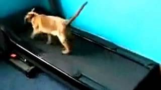 funny cat  running machine