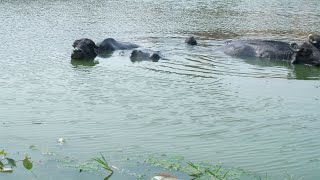 Pan shot of Indian buffaloes relaxing in a freshwater pond near a village in India
