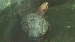 カンボジアモエギハコガメ(円山動物園) - cambodia box turtle