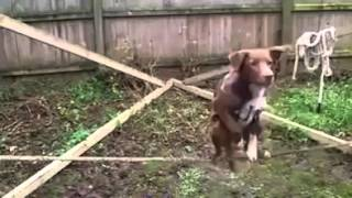 Собака эквилибрист - исполняет сложнейший цирковой номер! )))