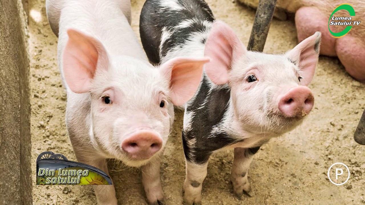 tratamentul nematodei porcine ozonoterapie pentru condiloame