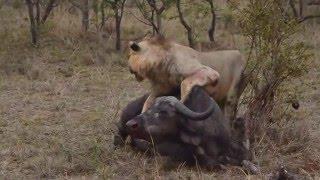 Прайд Львов Убивает Буйвола. Удачная охота.(Отличное видео в хорошем качестве. Прайд львоов убивает Буйвола., 2016-03-07T22:48:14.000Z)