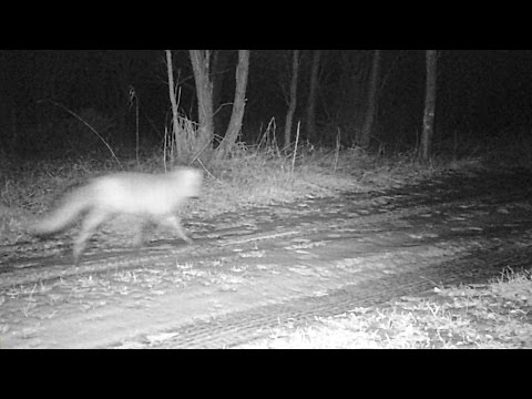 RED FOX VIXENS MATING CALL ON CRITTER CAM