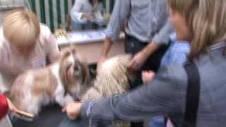 Собака с дредами (выставка собак  в Вологде)