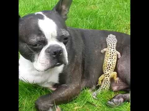 Breed All About It  Boston Terriers