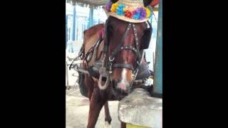 THE SAD LIFE OF THE BAHAMAS SURREY CARRIAGE HORSE