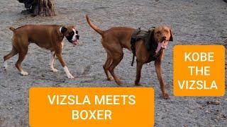 VIZSLA PUPPY MEETS BOXER DOG BREED
