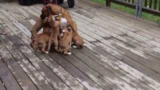 Boxer daddy with his puppies