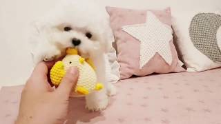 Bichon Frise | Cute Puppies | Adorable dog!