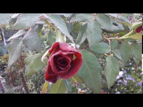 Футаж. Роза, капельки росы.