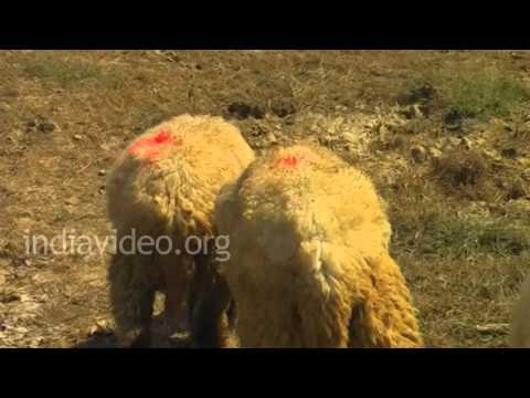 Sheep farming, Jamnagar District, Gujarat