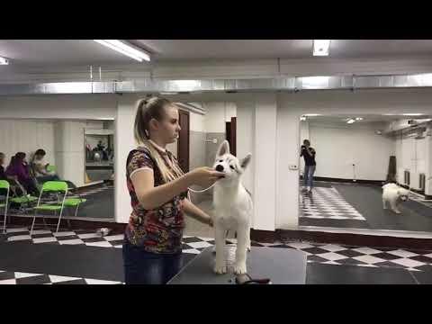 щенки хаски продаются - YouTube