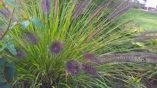 видео Просо прутьевидное - сорта, посадка и уход в открытом грунте