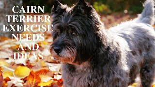 Cairn Terrier Exercise [Needs and Ideas]