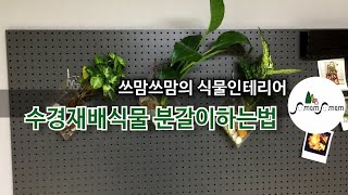 수경재배식물(싱고니움,스파티필름,스노우사파이어) 분갈이…