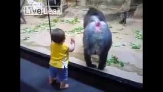 Бесстыжий бабуин