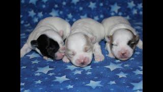 Coton de Tulear Puppies For Sale - Isha 5/5/21