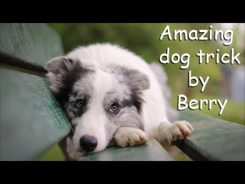 Amazing dog tricks by Border Collie Berry 1,5 year